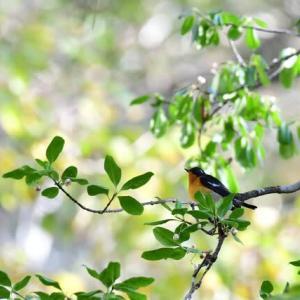 2020秋・旅鳥のムギマキ・・・(戸隠森林植物園)
