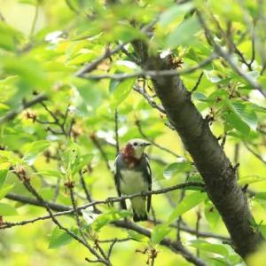 初夏の野鳥達・・・(コムクドリ達とオオルリやキビタキ・・・)