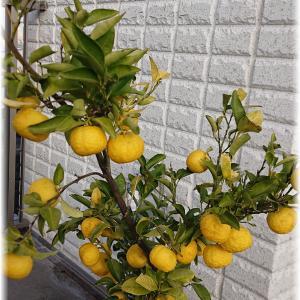花柚子の収穫間近?
