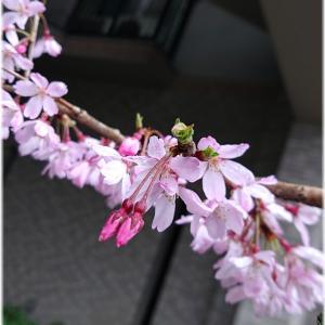 雨と桜と…戦う人に、エールを。