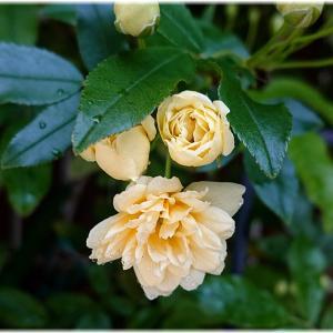 雨上がり モッコウバラが咲いた!