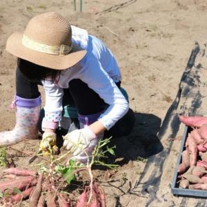 お芋さん掘りと畑の花たち