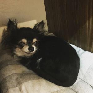【日常】老犬チワワのリル。歯周病のため、全身麻酔で抜歯をしました。