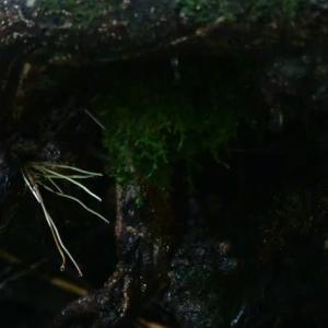 ミソサザイの巣(3)