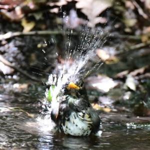 野鳥の水浴び