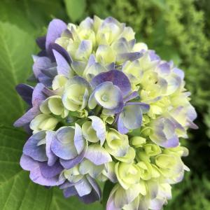 紫陽花に学ぶ紫コーディネート?