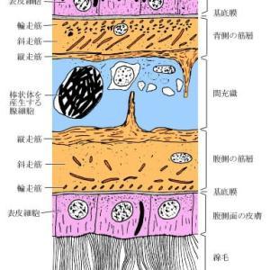 プラナリアの皮膚