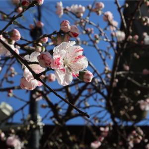散策しながらお花見🌸上野東照宮でお花見時期限定の桜の御朱印もいただいた🌸