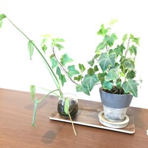 やっと植え替えた観葉植物。theFarmの素敵な鉢で玄関の模様がえ