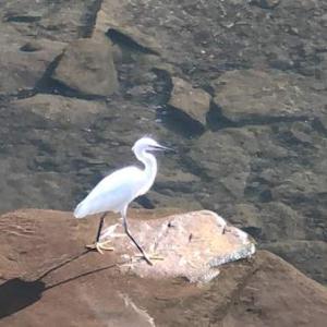 鶴見川の白鷺