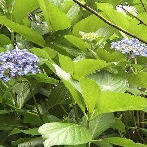 強・剪定の翌年、花が咲いてひと安心。