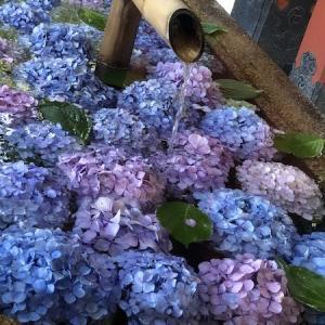 水に浮かぶ紫陽花。|鶴岡八幡宮 手水舎