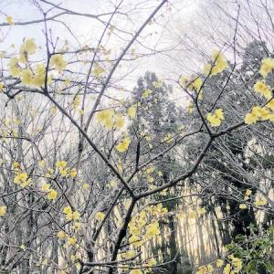 薬師池公園 「素心蝋梅」と咲きかけの「紅梅」「白梅」