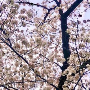 """変遷する""""桜""""と""""物""""と""""事""""。"""