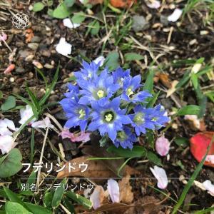 青い小さな山野草。