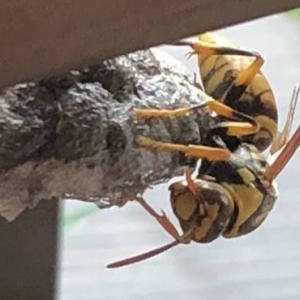 アシナガバチ駆除。