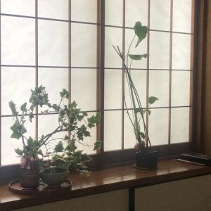 観葉植物の成長。
