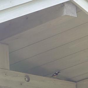 孵化したピーちゃんたちの巣立ちを見守りました。
