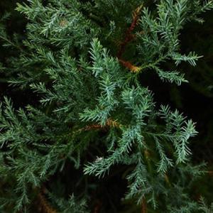 7月のアロマ情報 森林の香りでセルフケア おすすめブレンド サイプレス+シダーウッド+大分カボス