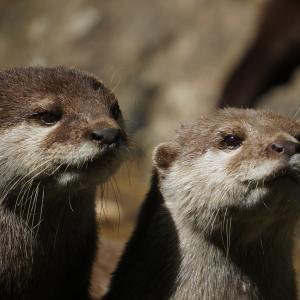 Otterはネイティブのカジュアルな発音を正確に認識できるか?