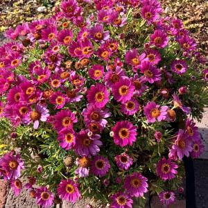 ボンザマーガレット(リーフ咲きローズピンク)開花♪ウルル咲きイチゴショートはまだまだ…