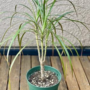 IKEAで買ったドラセナと枯れてしまった観葉植物