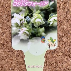 【ラベル】オレガノ ロタンダフォーリア