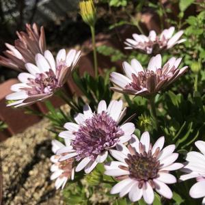 エリゲロンとオステオスペルマム今年も咲きました!