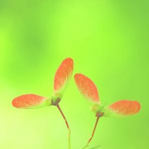 838 滑空植物の短歌 気球植物の短歌