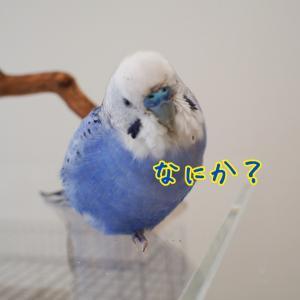 ピィちゃんキィちゃん換羽の差