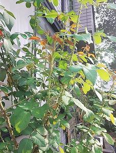 夏剪定その後と実家に植えた花