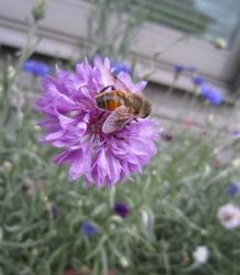 可愛いミツバチと思ったらアブだった件(;'∀')