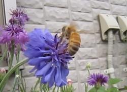 今度こそ、可愛いミツバチ(どこから来たの?迷子?)
