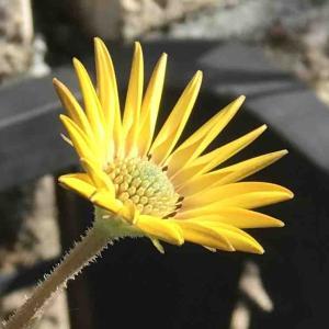 1月のお庭オステオスペルマムが早くも開花!