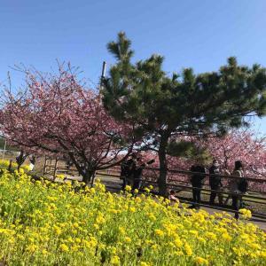 河津桜を見に行ってきたよ