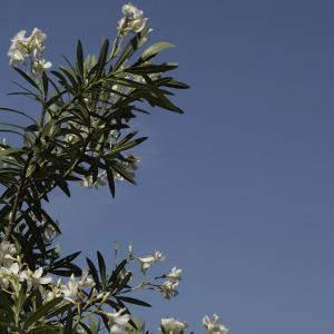 青い空と白い花