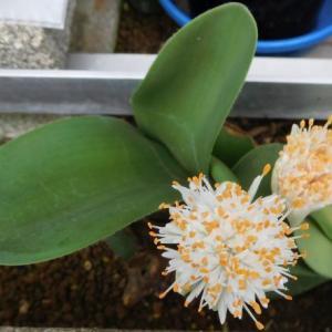ハエマンサスの白い花