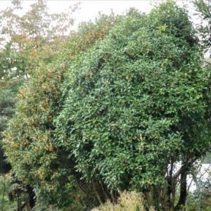 木犀の香りにつられて庭を一巡り