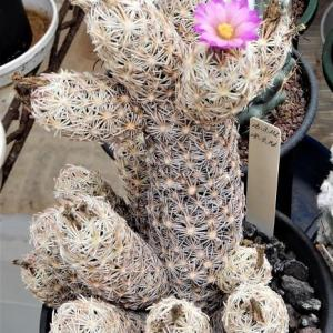 蒸し暑い日の開花(最低湿度84%最高湿度100%最高気温26.2℃)