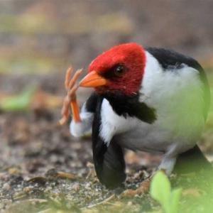 キバシコウカンチョウ ハワイ島の野鳥