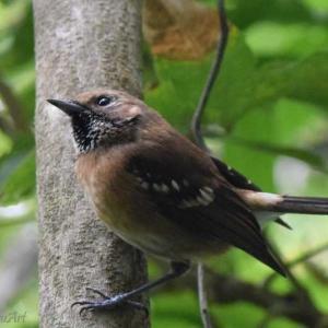 ハワイ・エレパイオ ハワイ島の鳥