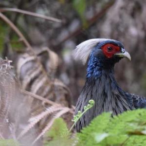 ミヤマハッカン ハワイ島の野鳥