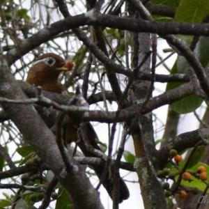 ガビチョウ ハワイ島の野鳥