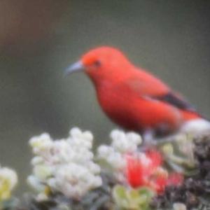 アパパネ ハワイ島の野鳥