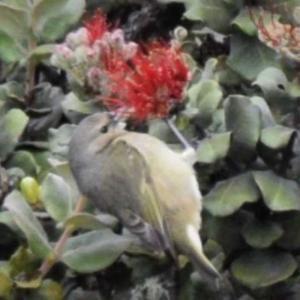 アマキヒ ハワイ島の野鳥