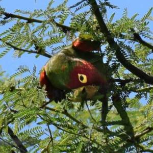 オナガ アカボウシ インコ ハワイ島の野鳥