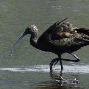 カオジロブロンズトキ ハワイ島の野鳥