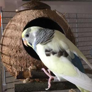 ココナッツのお家♡セキセイインコ
