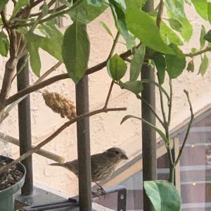 ベランダに野鳥~メキシコマシコ
