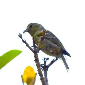 オアフ島固有種の鳥‐アマキヒ